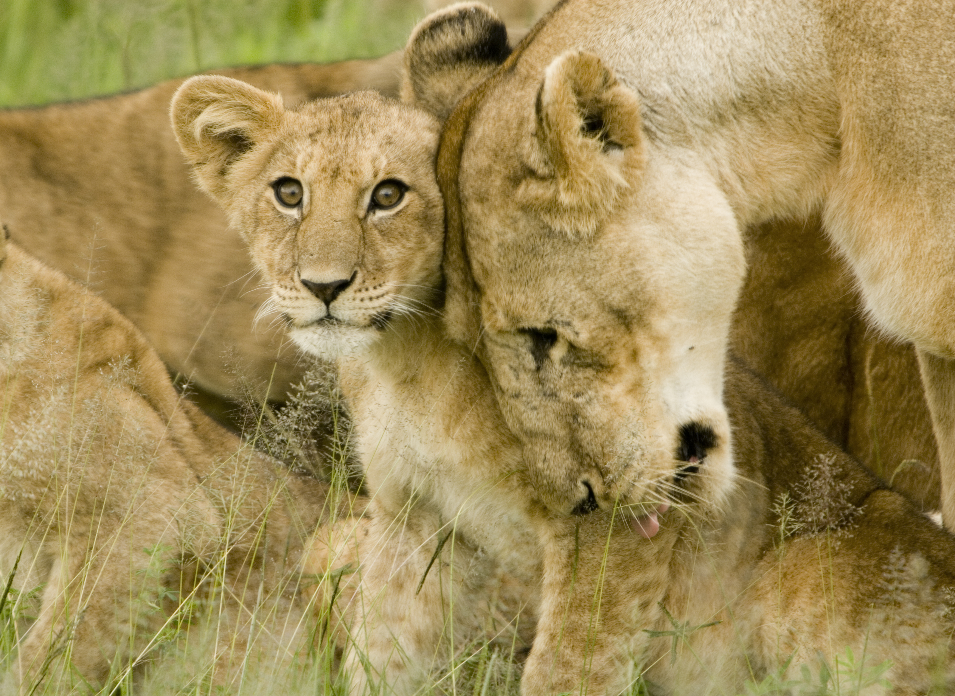 Lion_cub_with_mother.jpg