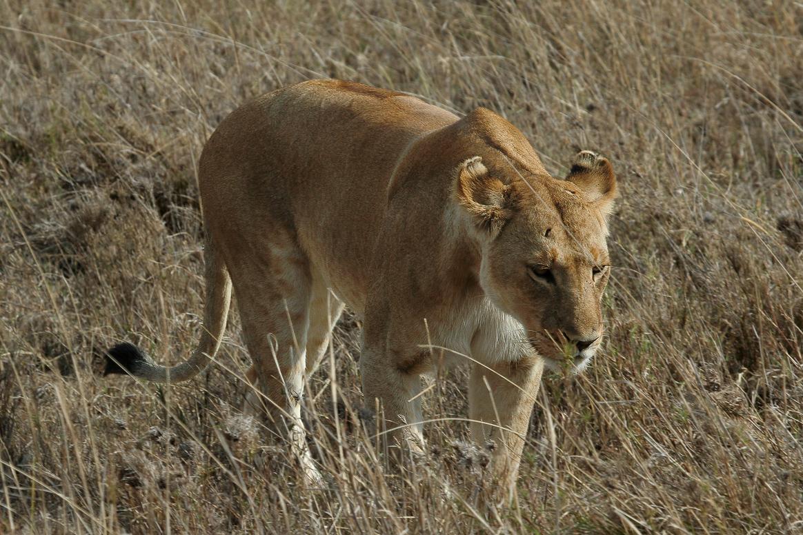 Serengeti_Lion_2%20c%20shyuler%20sheperd.jpg
